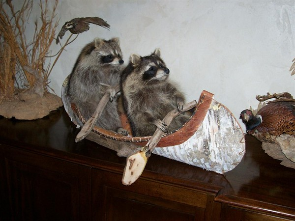 Taxidermy 2 Coons up the Creek
