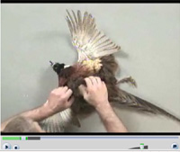 Mounting a flying pheasant part 3